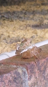 cicada is born