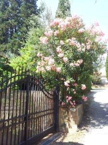 Oleander in full bloom