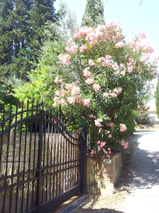 Oleander in full bloom