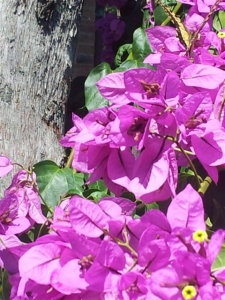 Bougainvillea with butterfly top right. photo June Finnigan