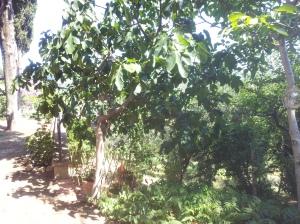 The Fig Tree Photo J Finnigan