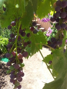 Ripening grapes on our lower terrace. Photo P Finnigan