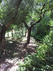 A shady path under the fruit trees, leading to the Olive Grove.
