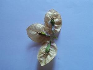 Buganvellia Seeds photo P Finnigan