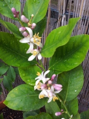 Lemon Tree Blossoms after the rain Photo J Finnigan