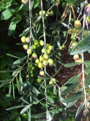Olives ready for picking. Photo J Finnigan
