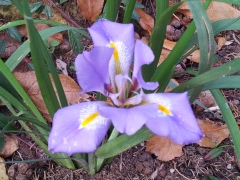 Florentine Iris in the garden Photo P Finnigan
