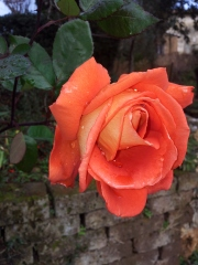 Beautiful january rose in our garden. Photo P Finnigan