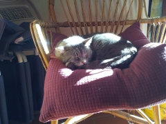 Farty Barty exhausted on his kitchen chair. Photo P Finnigan
