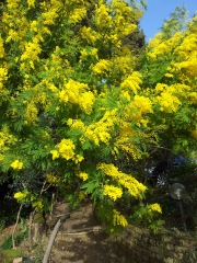 Mimosa in our garden. Photo P Finnigan
