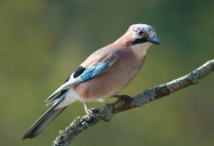 Eurasian Jay Photo Wikapedia