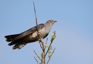 The Common Cuckoo