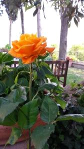 Rose in our garden. Photo P Finnigan