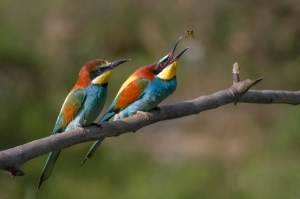 Male and female Bee Eaters Photo National Geographic