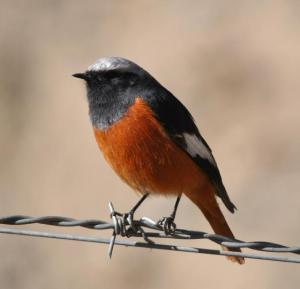 Male  Redstart Photo National Geographic