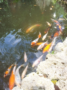 Koy Carp in the fountain pool