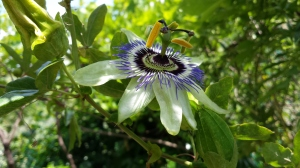 Pashion Flower Photo P Finnigan