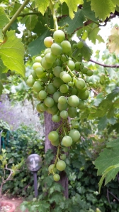 Grapes on the Lower Terrace Photo P Finnigan