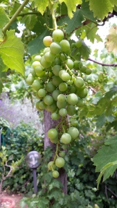 Grapes ready for harvesting photo P Finnigan