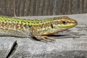 Italian Wall Lizard Photo Gary Nafis