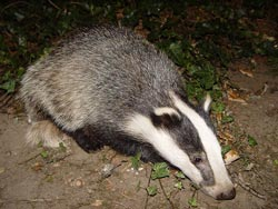Tuscan Badger Foraging