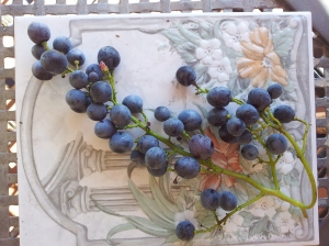 Small sweet grapes from our lower terrace. Photo P Finnigan