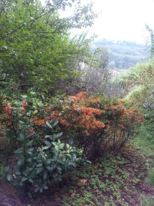 September Hawthorn berries on the edge of our upper terrace. Picture J Finnigan