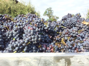 Big fat juicy grapes from a neighbouring vineyard. Photo J Finnigan