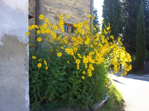Lovely wild yellow daisies by the side of the road near our villa. Photo J Finnigan