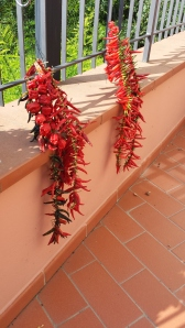 Hot Chilli Peppers drying on Paolo's balcony. Photo P Finnigan