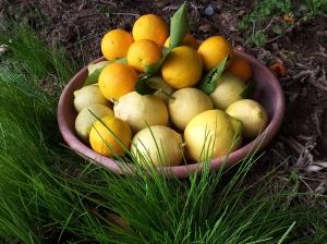 Freshly harvested oranges and lemons. Photo P Finnigan