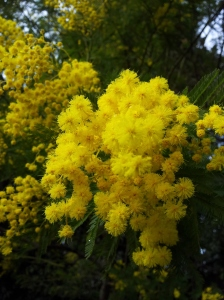 The first Mimosa blossom in the garden. Photo J Finnigan