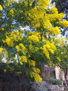 Our Mimosa tree in full bloom. Photo J Finnigan
