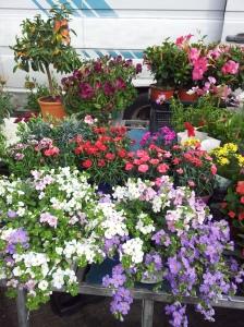 Plants at the Saturday morning market in Certaldo.  Photo J Finnigan