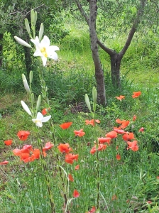 The Madonna Lily and Poppies below our Terrace.  Photo J Finnigan
