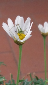 Grasshopper type insect in Daisy. Photo P Finnigan