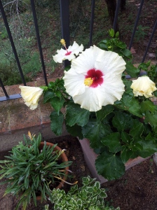 The wonderful Hibiscus which survives all weathers. Photo J Finnigan