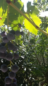 Juishy grapes in our garden Photo P Finnigan