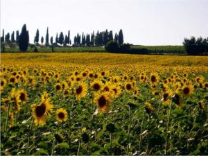 Tuscan sunflowers after the rain. Photo J Finnigan