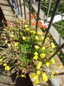 Succulents flowering in teh sunshine. Photo J Finnigan
