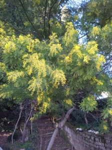 Mimosa blossom in mid-January! foto P Finnigan