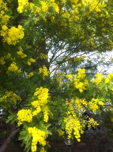 Mimosa Blossom in our garden on 29th January! Foto J Finnigan
