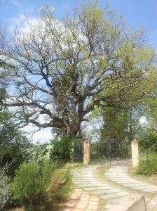 The big ancient Oak Tree garding our gate. foto J.Finnigan