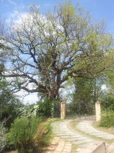 The big ancient Oak Tree garding our gate. foto J.Finnigan