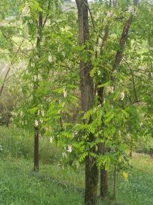 Acacia Trees below our new garden. foto J Finnigan