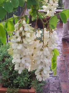 Acacia blossom after the rain. Foto J Finnigan