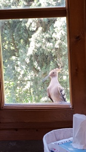 Hoopoe outside our bathroom window. Foto P Finnigan