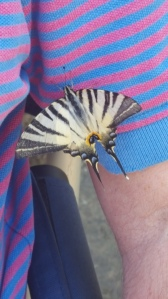 Giant Swallow Tail Butterfly with my man at aperitivo time. Foto J Finnigan