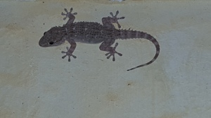 Eddie Lizard on our kitchen wall. Foto P Finnigan