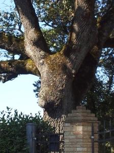 The Moose in the big oak tree guarding our gate. Foto J Finnigan